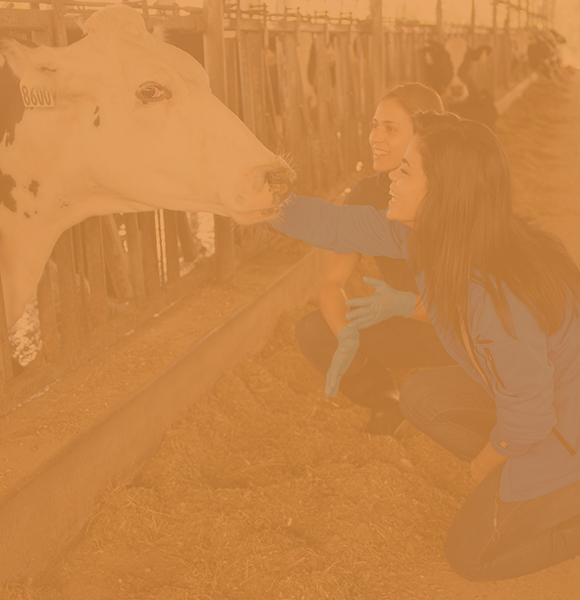 Two female animal science students kneeling down in a barn petting a dairy cow