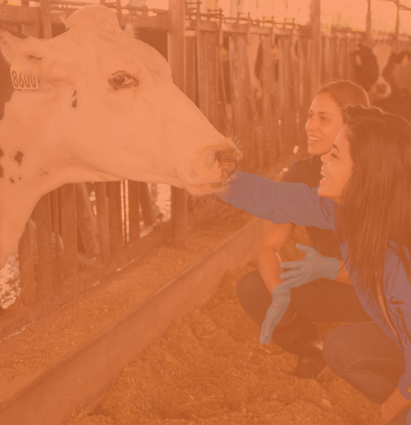 Two female CALS students kneeling down and petting a dairy cow.